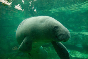 African manatee