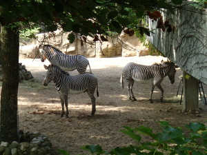 Zebra trio at Lincoln Park Zoo
