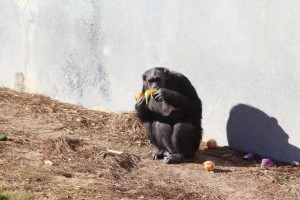 Stereotypical banana eating