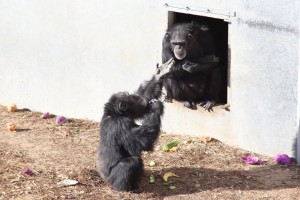 Chimp generosity