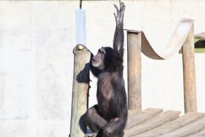 chimp stretch