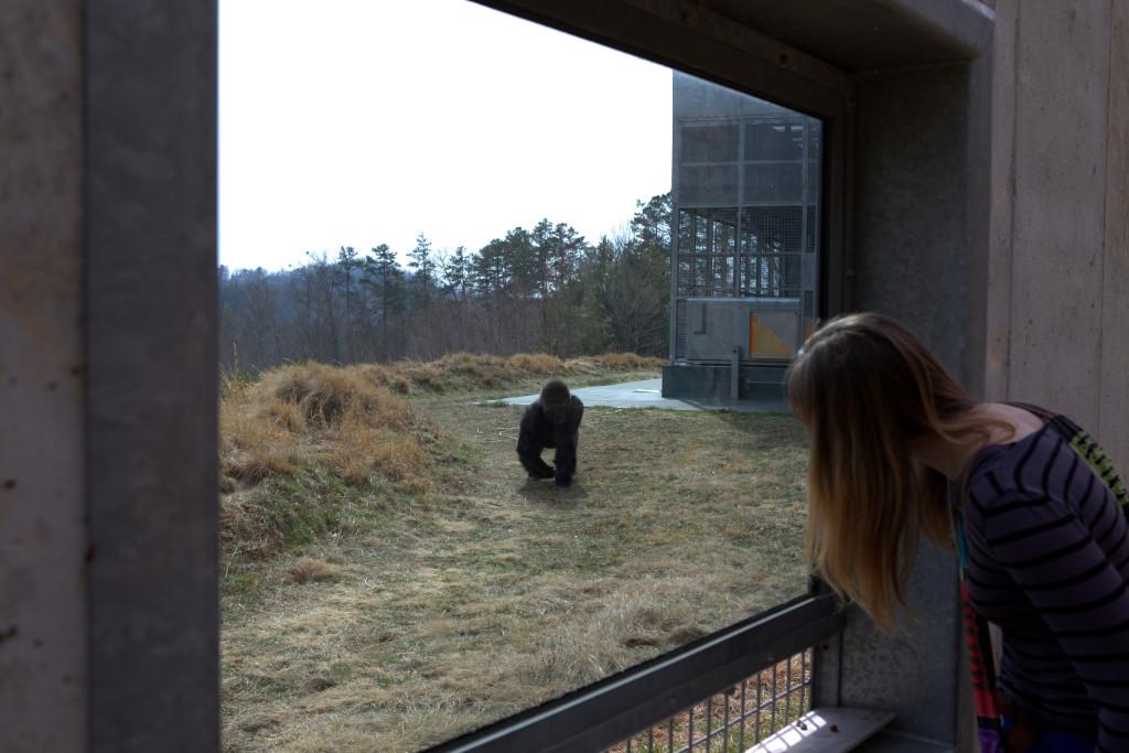 Gorilla17