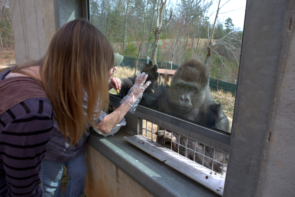 Gorilla10