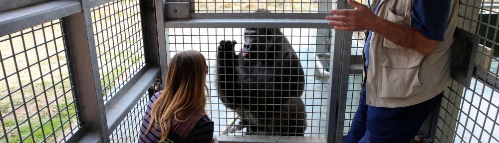 Gorilla18