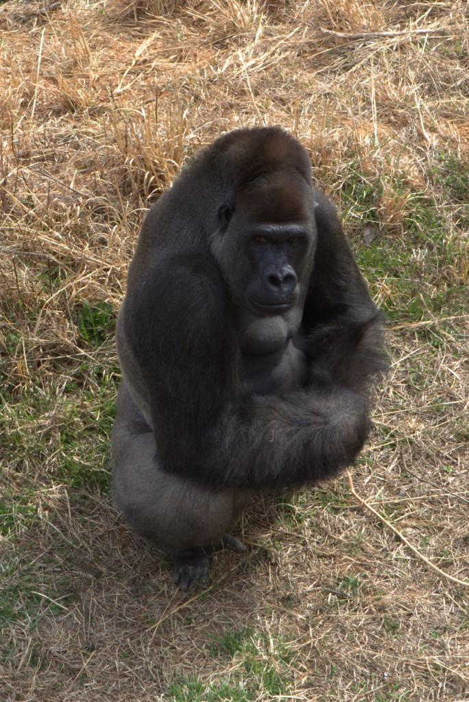 Gorilla16