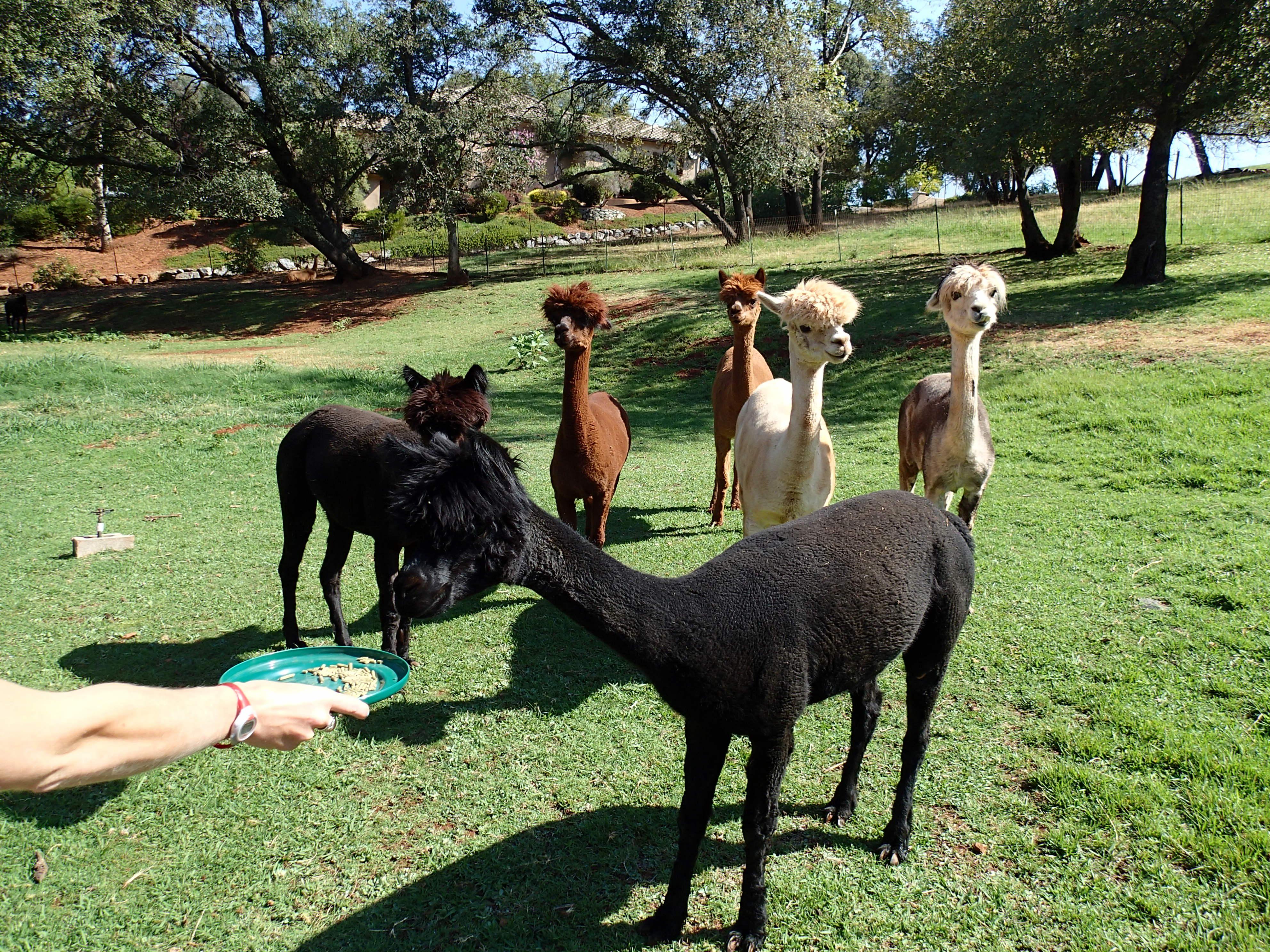 alpacas standing