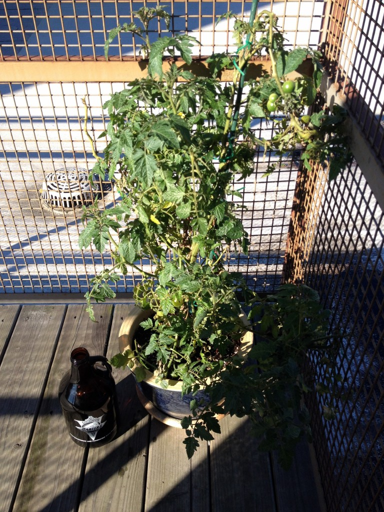 Piddilywinks the Tomato Plant - October 22, 2014