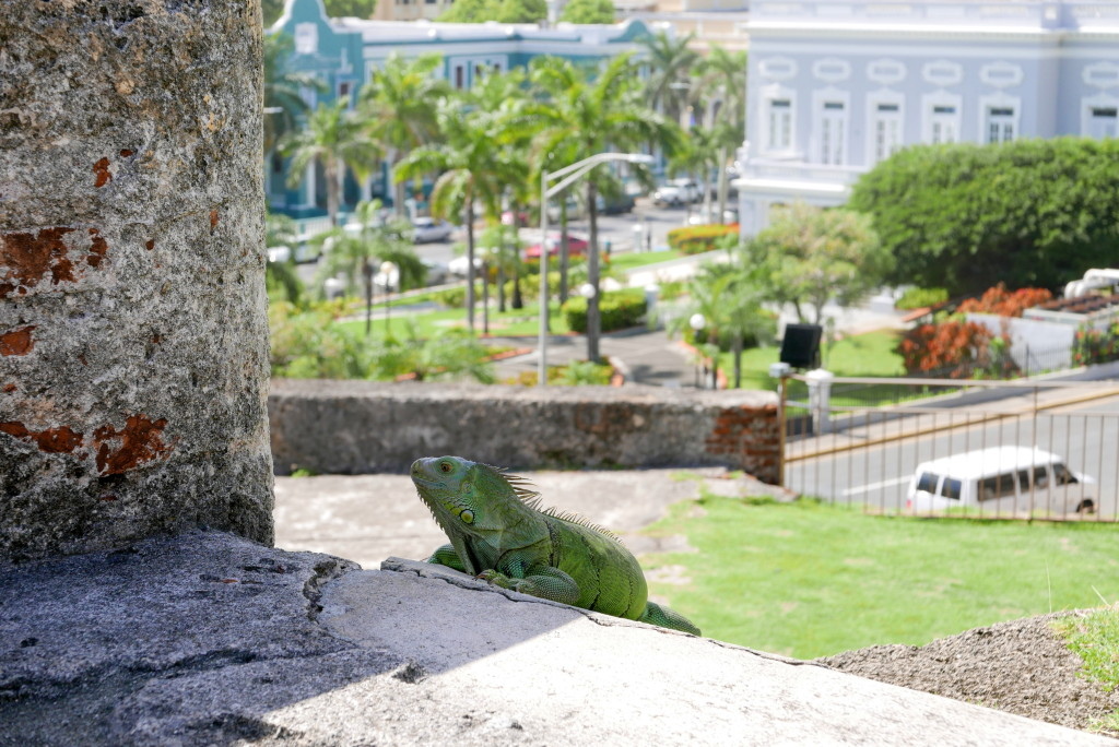 Keep and eye out for iguanas